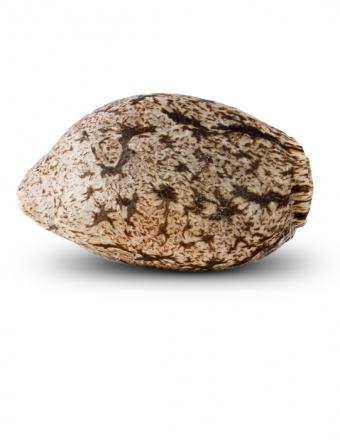 Cannabis Seed